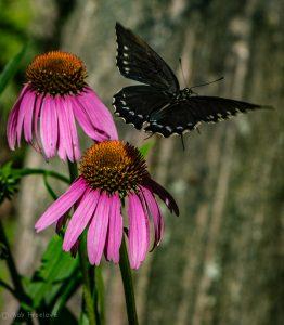 Bees & Butterflies-4